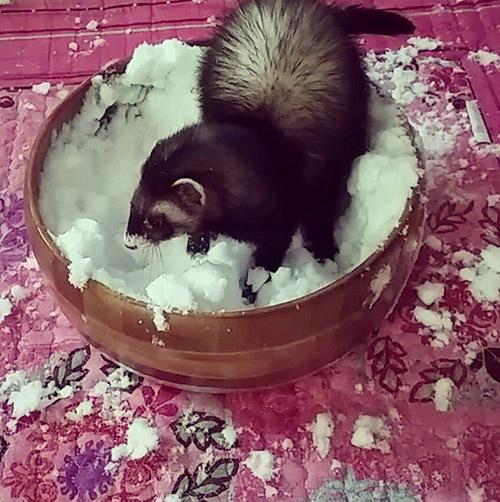 "<div class=""meta image-caption""><div class=""origin-logo origin-image none""><span>none</span></div><span class=""caption-text"">Minky playing with snow #loveofmylife #ferretgram #ferretsofinstagram #carpetshark #catsnake #6abcsnow #1 #ferretism (mangokristie/Instagram)</span></div>"