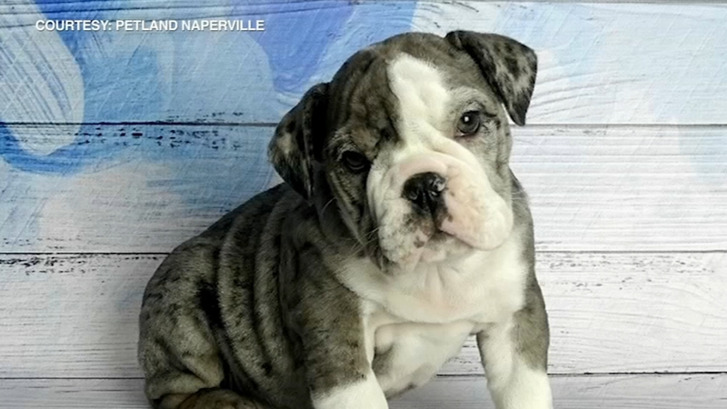 Blue Christmas Search Is On For Rare Pup Stolen From Naperville Store