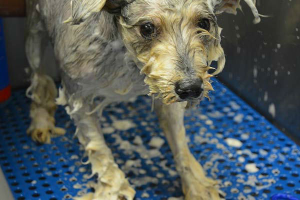 """<div class=""""meta image-caption""""><div class=""""origin-logo origin-image none""""><span>none</span></div><span class=""""caption-text"""">The Houston Humane Society's Animal Cruelty Team rescued 20 small, older dogs from a Houston residence (KTRK Photo)</span></div>"""