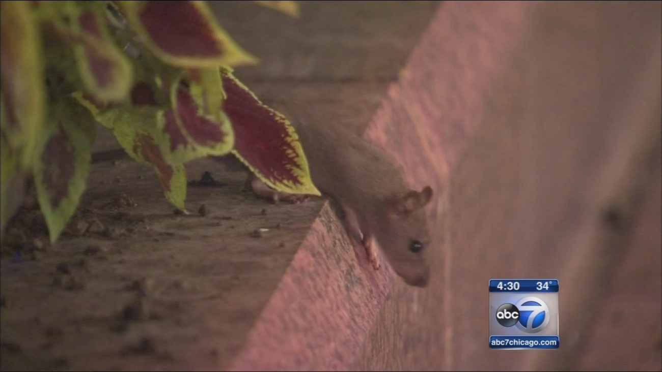 Residents pin rat problem on Wrigley Field construction