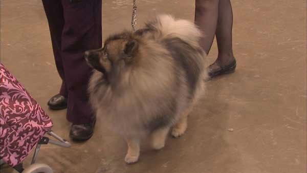 "<div class=""meta image-caption""><div class=""origin-logo origin-image none""><span>none</span></div><span class=""caption-text"">The International Kennel Club of Chicago hosts the 2015 International Cluster of Dog Shows at McCormick Place this weekend. (WLS Photo)</span></div>"