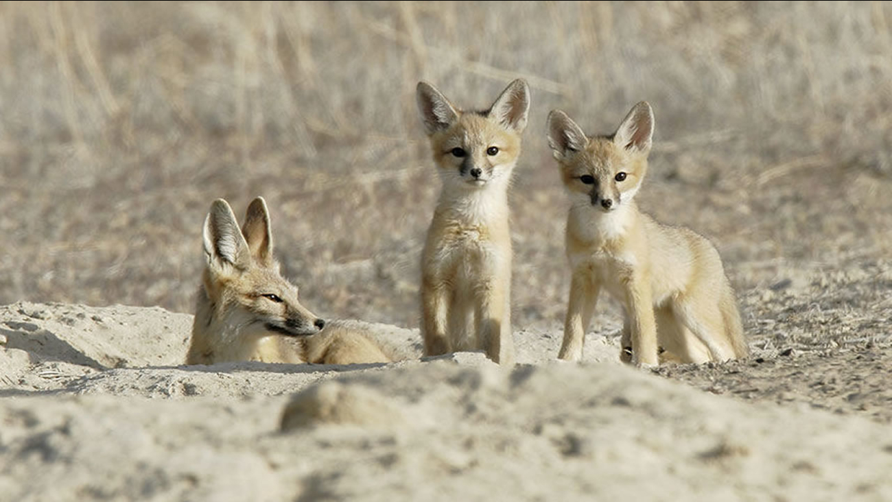 The San Joaquin kit fox has been on the endangered species list since 1967.
