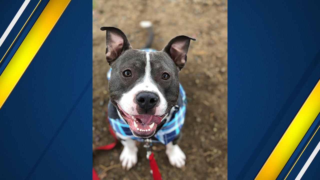 "<div class=""meta image-caption""><div class=""origin-logo origin-image none""><span>none</span></div><span class=""caption-text"">Gibbs is approximately 2 to 3-years-old, neutered male Bully mix breed.  He is great with dogs big and small, as well as cats!</span></div>"