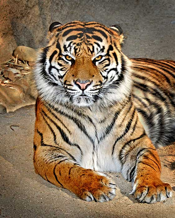 C.J., a 250-pound endangered Sumatran tiger, makes his public debut at the Los Angeles Zoo on Friday, Feb. 6, 2015.