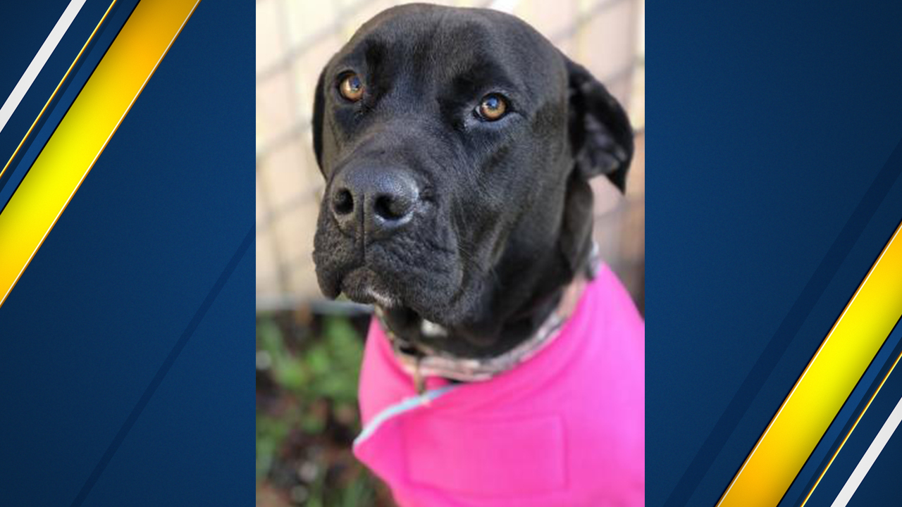 "<div class=""meta image-caption""><div class=""origin-logo origin-image none""><span>none</span></div><span class=""caption-text"">Mary is a sweety-pie. Mary is a fully grown Labrador Retriever mix female approximately 2 to 3 years old.</span></div>"