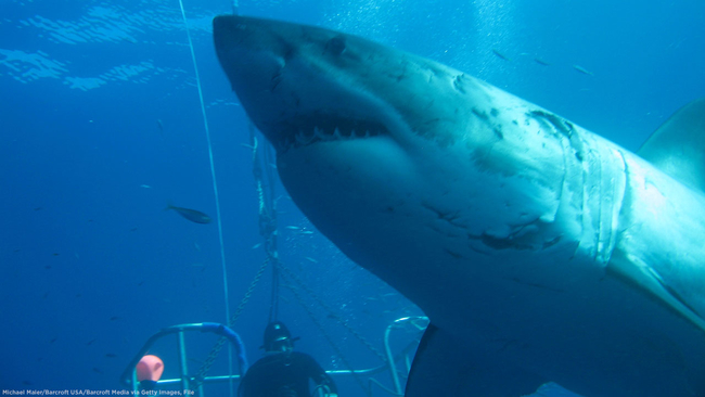 Deep Blue, one of world's largest great white sharks, caught on