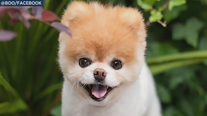 Boo the Pomeranian dies of broken heart, owners say