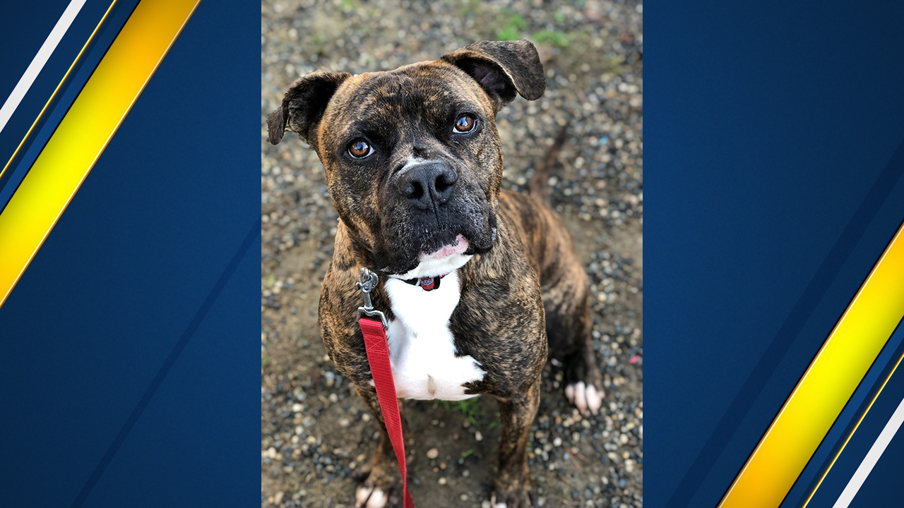 "<div class=""meta image-caption""><div class=""origin-logo origin-image kfsn""><span>KFSN</span></div><span class=""caption-text"">Chomps is a 4.5-year-old Boxer boy mix with some knowledge of commands such as sit, shake and look adorable.</span></div>"