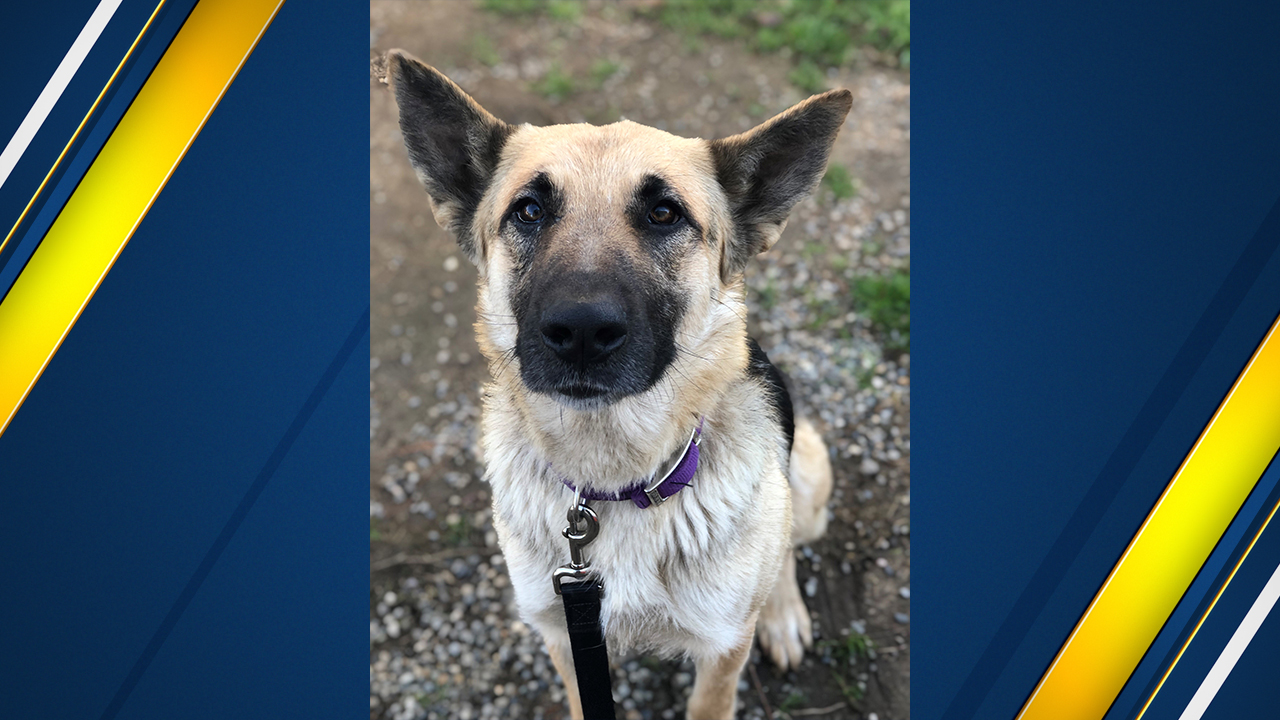 "<div class=""meta image-caption""><div class=""origin-logo origin-image kfsn""><span>KFSN</span></div><span class=""caption-text"">Emma is a 2 to 3-year-old German Shepherd mama and weighs approximately 53 lbs.</span></div>"