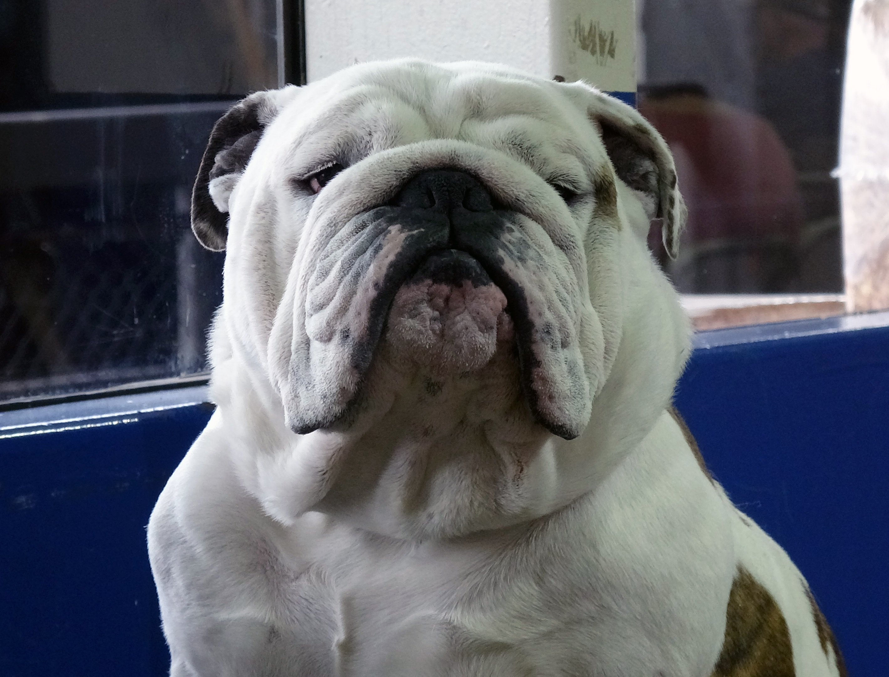 """<div class=""""meta image-caption""""><div class=""""origin-logo origin-image none""""><span>none</span></div><span class=""""caption-text"""">Meet some of the dogs of the 2019 Westminster Kennel Club Dog Show in New York City.</span></div>"""