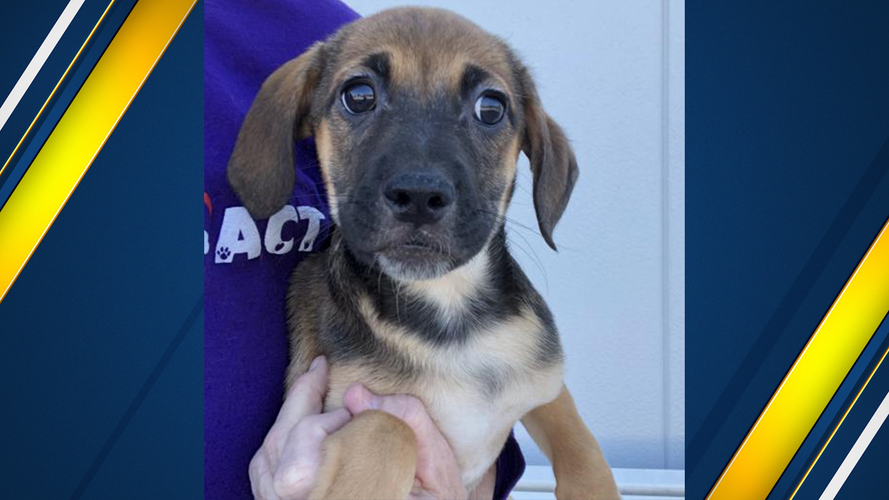 "<div class=""meta image-caption""><div class=""origin-logo origin-image kfsn""><span>KFSN</span></div><span class=""caption-text"">Sully is a 2-month-old pup with Animal Compassion Team looking for his forever home.</span></div>"