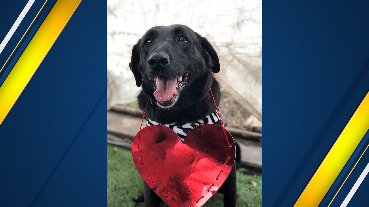 "<div class=""meta image-caption""><div class=""origin-logo origin-image none""><span>none</span></div><span class=""caption-text"">Cuddles is a middle-aged Labrador approximately 5 years old.</span></div>"