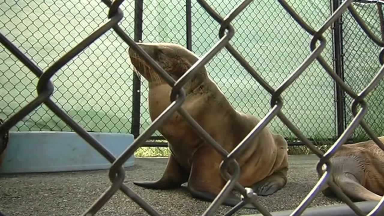 "<div class=""meta image-caption""><div class=""origin-logo origin-image none""><span>none</span></div><span class=""caption-text"">A sea lion pup was rescued near San Francisco's Lake Merced on Wednesday, Feb. 11, 2015. (ABC7 News)</span></div>"