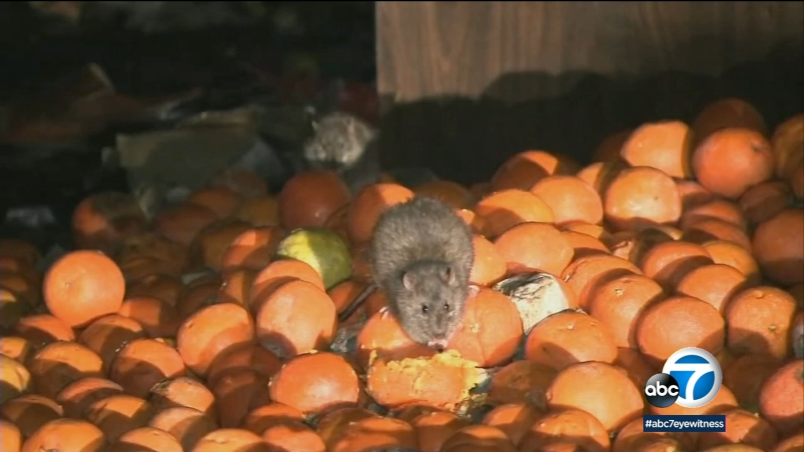 Los Angeles city leaders continue to work on rodent problem in City Hall