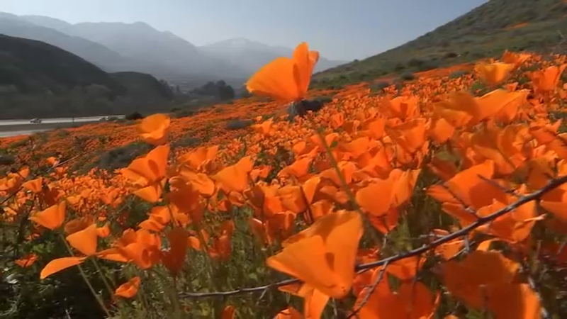 Lake Elsinore Super Bloom Has Visitors Flocking To See Poppies
