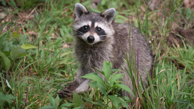 Supermarket raccoons
