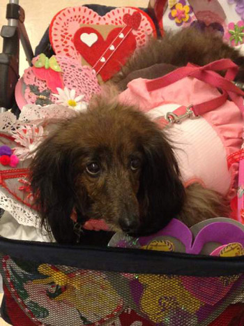 """<div class=""""meta image-caption""""><div class=""""origin-logo origin-image none""""><span>none</span></div><span class=""""caption-text"""">Tova sits in a basket filled with Valentine's Day cards that were delivered to sick patients on Friday, Feb. 13, 2015.</span></div>"""