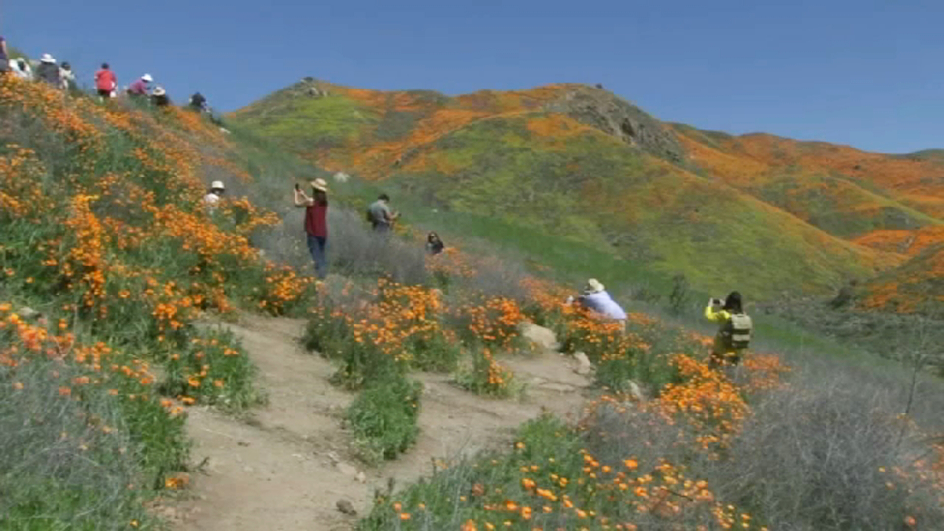 Poppies in danger as Lancaster super bloom becomes new hot spot for crowds