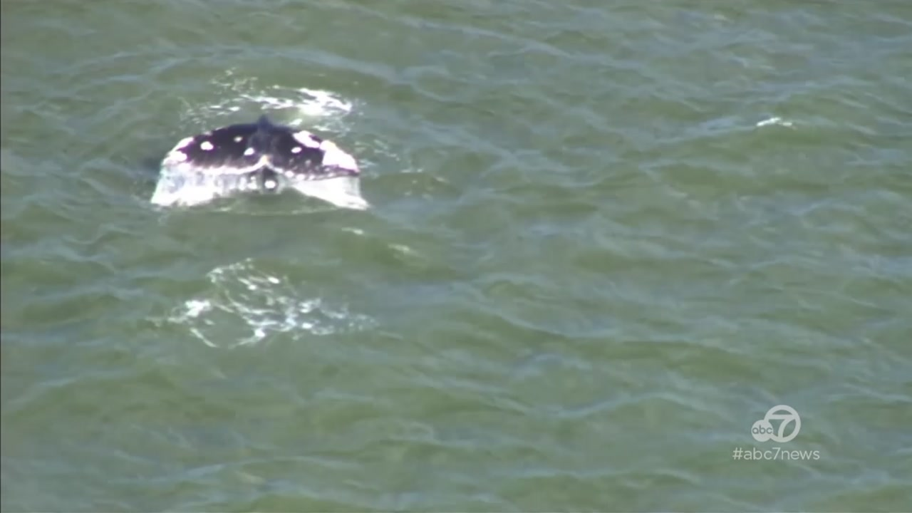 Gray whale likely on migratory path to Alaska spotted in San Francisco Bay