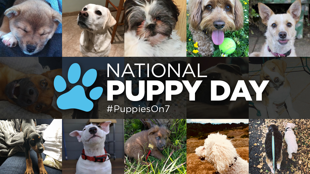 ABC7 Puppy Cam adoption event for National Puppy Day 2019