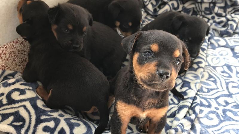 Houston Humane Society receives dozens of Rottweiler mix dogs