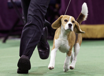 """<div class=""""meta image-caption""""><div class=""""origin-logo origin-image ap""""><span>AP</span></div><span class=""""caption-text"""">Miss P, a 15-inch beagle, and handler William Alexander, compete in the Best in Show group at the Westminster Kennel Club dog show Tuesday, Feb. 17, 2015, in New York. (AP Photo/Frank Franklin II)</span></div>"""