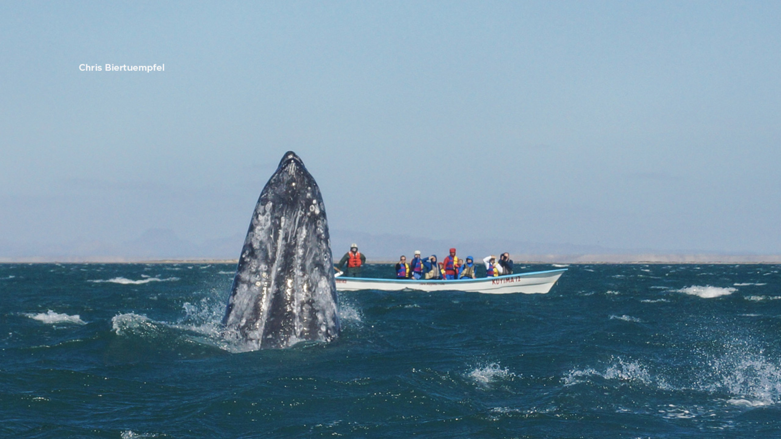 Why gray whales may be starving to death along the California coast