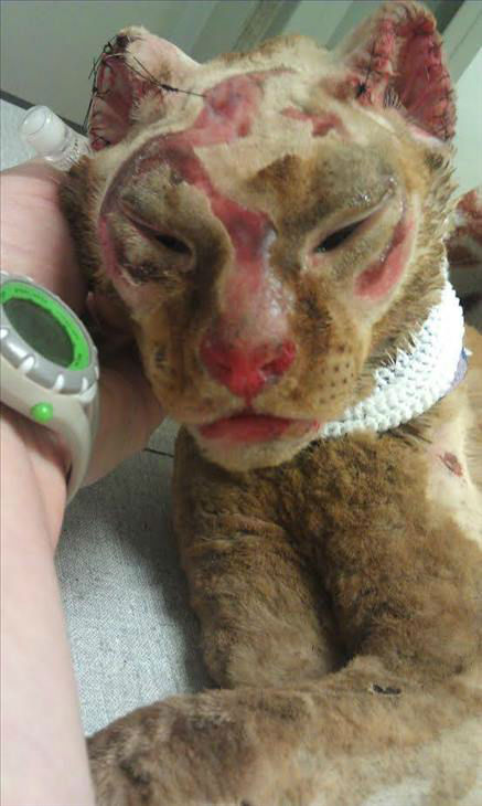 """<div class=""""meta image-caption""""><div class=""""origin-logo origin-image none""""><span>none</span></div><span class=""""caption-text"""">We first told you about Russell last year. He's a local miracle cat who survived a house fire. (WTVD Photo)</span></div>"""