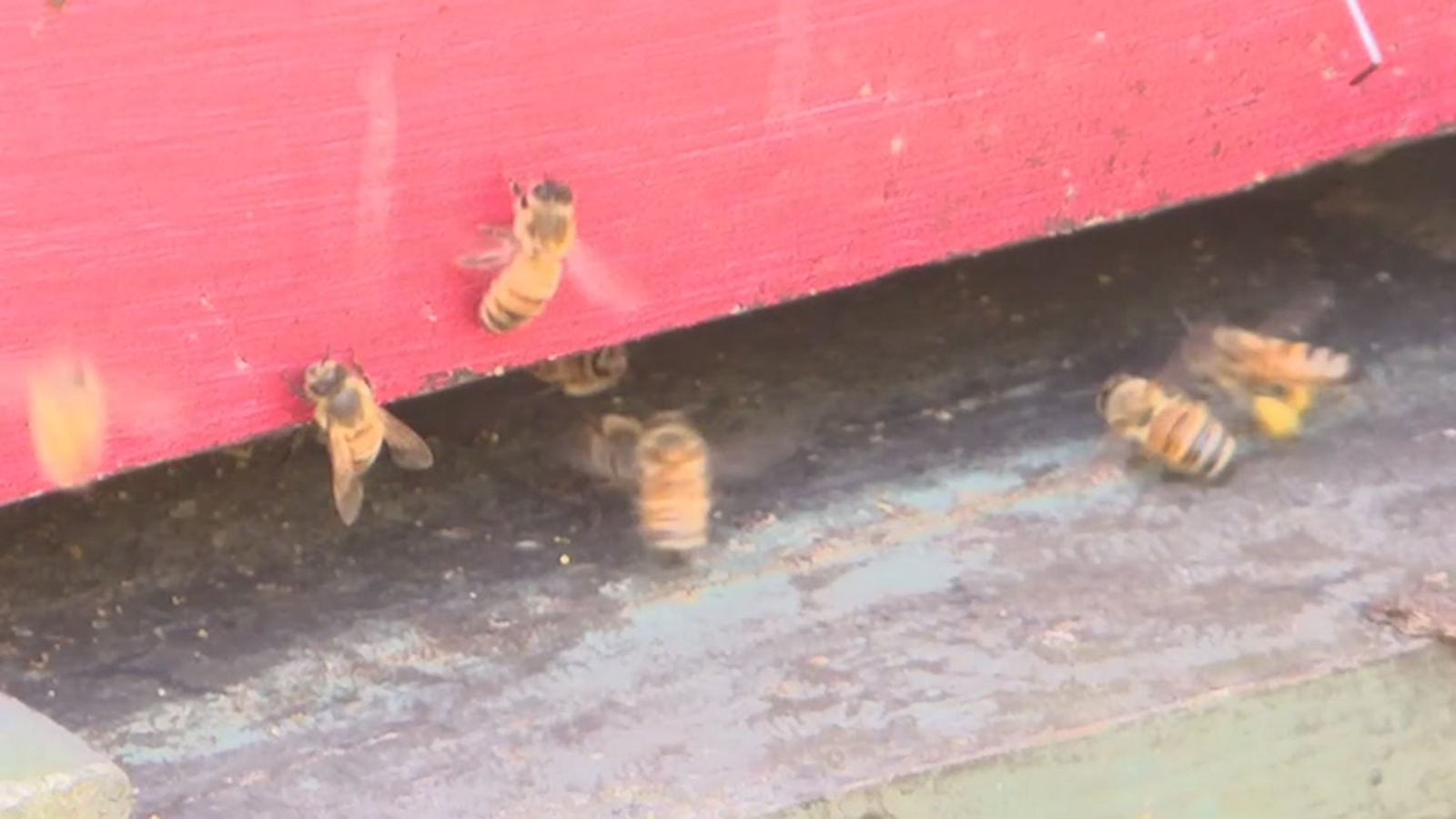 Honey bee crisis: How a $2M investment at NC State could save apples, blueberries, melons, peaches, and more