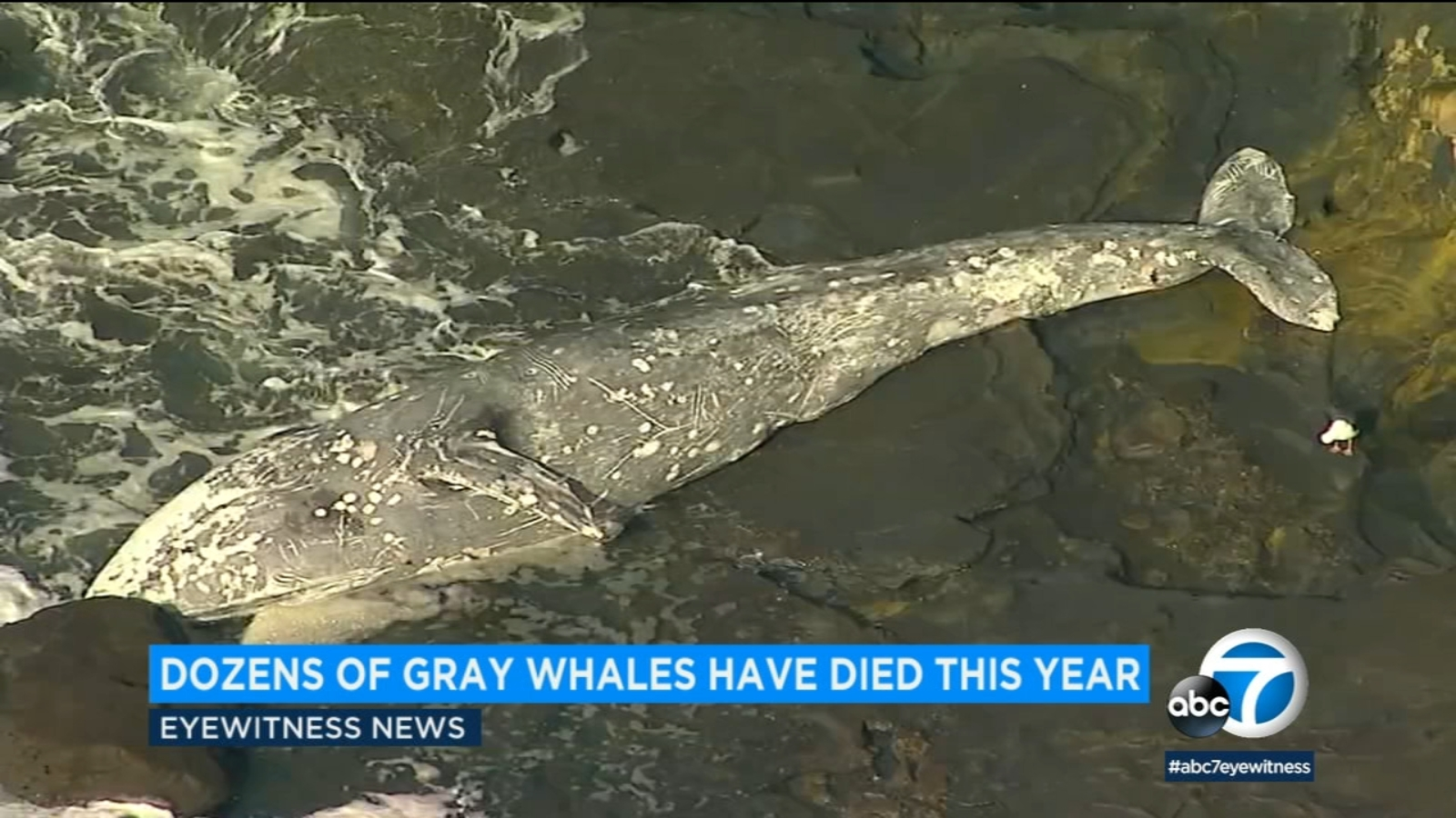 Large number of gray whales have washed up dead along West Coast