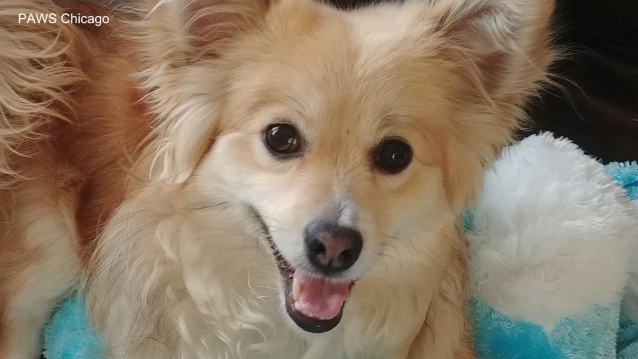 Paws Chicago Extending Hours For 2 Day Pet Adoption Marathon Abc7 Chicago