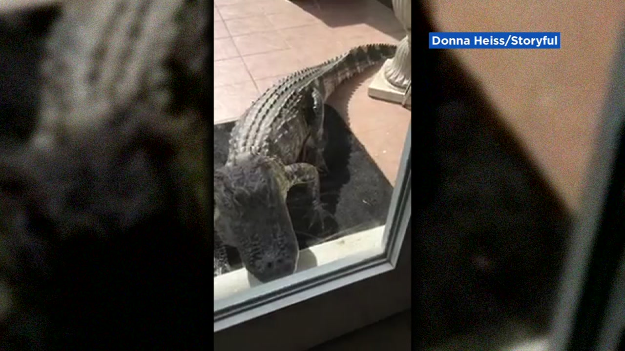 Gator Knocks On Florida Woman S Door Abc7news Com