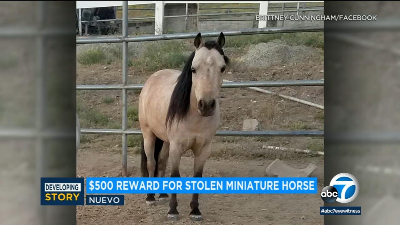 Rumble The Mini Horse Stolen In Riverside County 500 Reward
