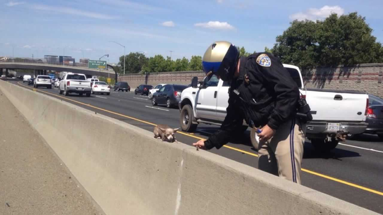 There's been no word on how the little Chihuahua ended up on I-680, but the CHP did say the dog is now safe.