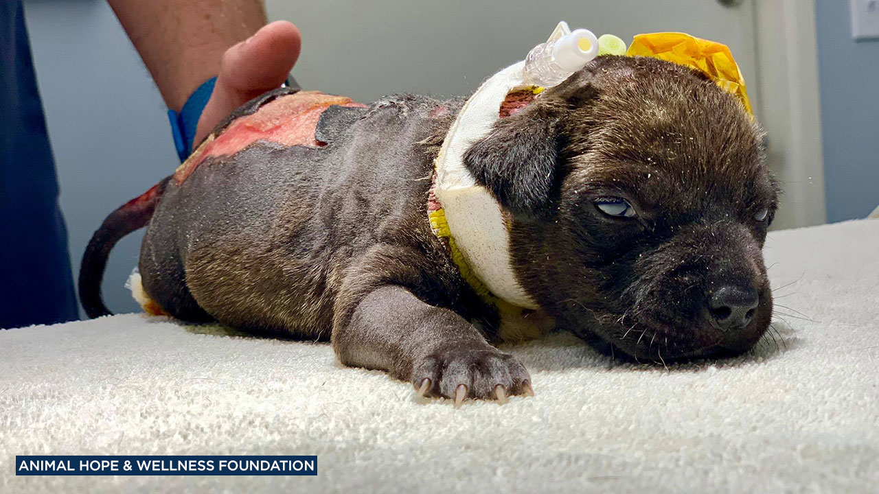 Hope is a puppy who was found beaten and burned in a Coachella dumpster on May 5, 2019.