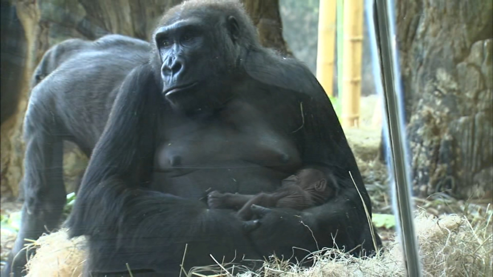 Lincoln Park Zoo: Baby gorilla born on Mother's Day