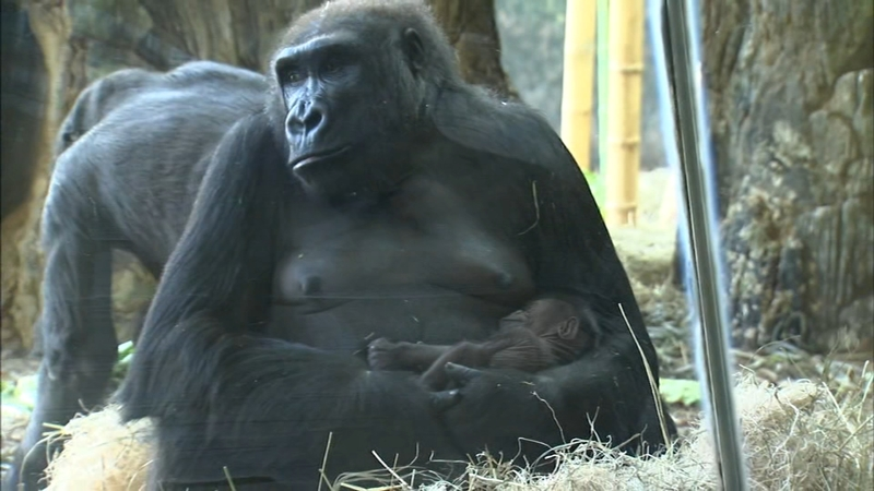 c4b4df0469e Lincoln Park Zoo: Baby gorilla born on Mother's Day