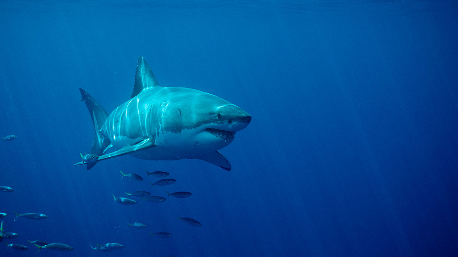 Sharks on the move: Luna the great white and others head up the Eastern Seaboard