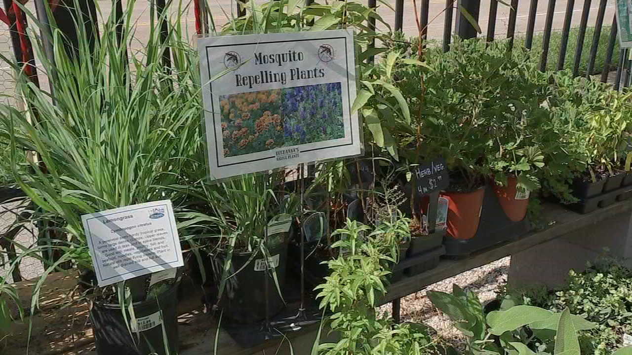 Natural Mosquito Repellent 4 Plants To Keep Mosquitoes Away Abc7 Chicago