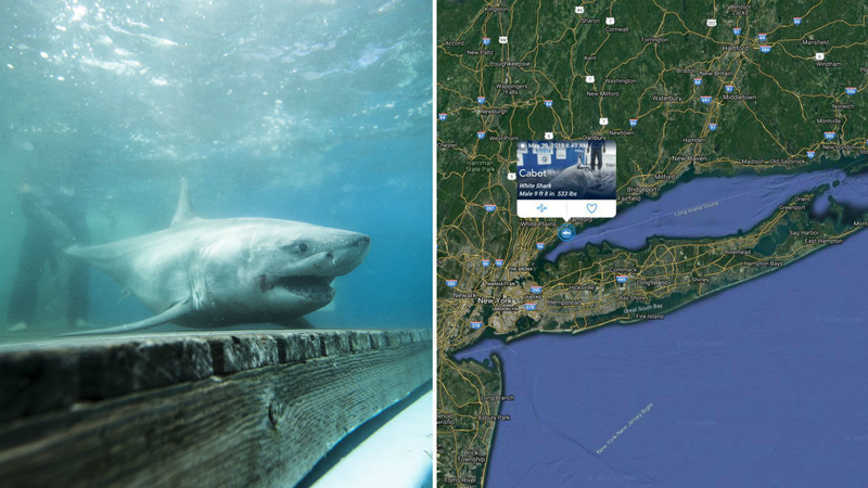 Group tracks Great White Shark in Long Island Sound for first time