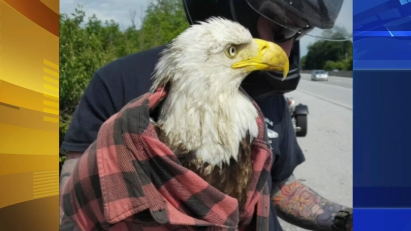 Motorcyclist uses flannel shirt to save bald eagle on