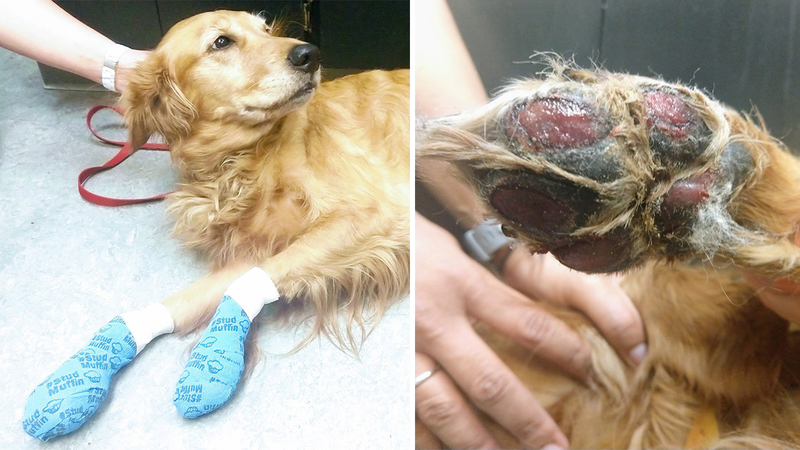 Dog found with burned paw pads after walking in summer heat
