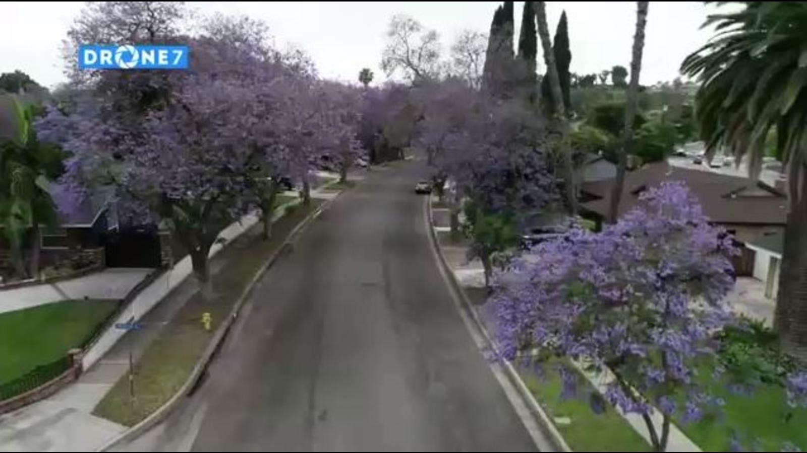 Jacaranda Trees Blooming In Southern California Abc7 Los Angeles