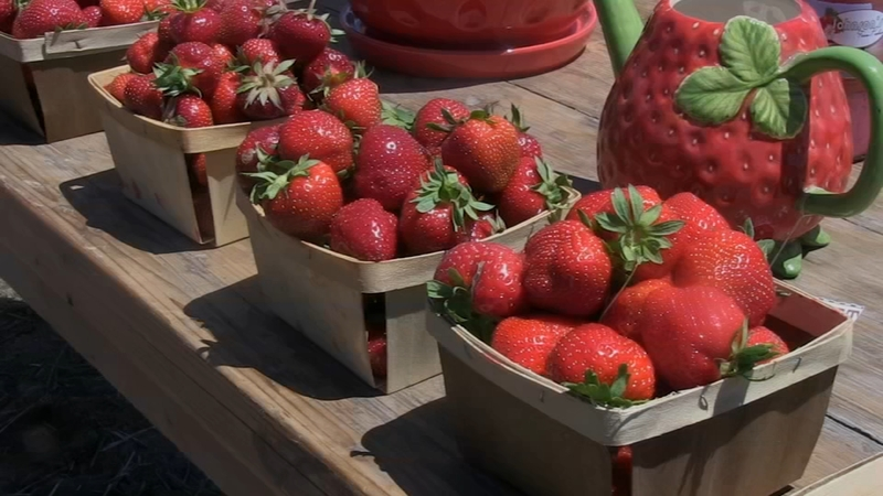 Strawberries In Season At Johnson S Farm Produce In Hobart Abc7 Chicago