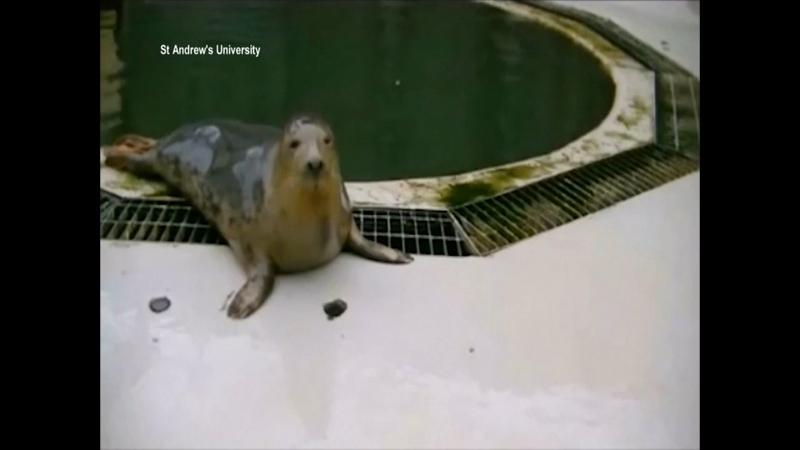 WATCH: Grey seals sing