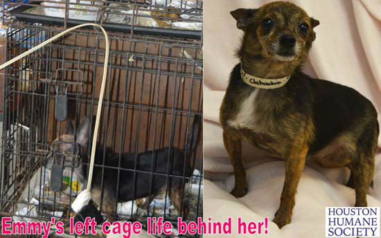 """<div class=""""meta image-caption""""><div class=""""origin-logo origin-image none""""><span>none</span></div><span class=""""caption-text"""">Dogs rescued from a home in Bay City are now available for adoption with the Houston Humane Society. (KTRK Photo/ Houston Humane Society)</span></div>"""
