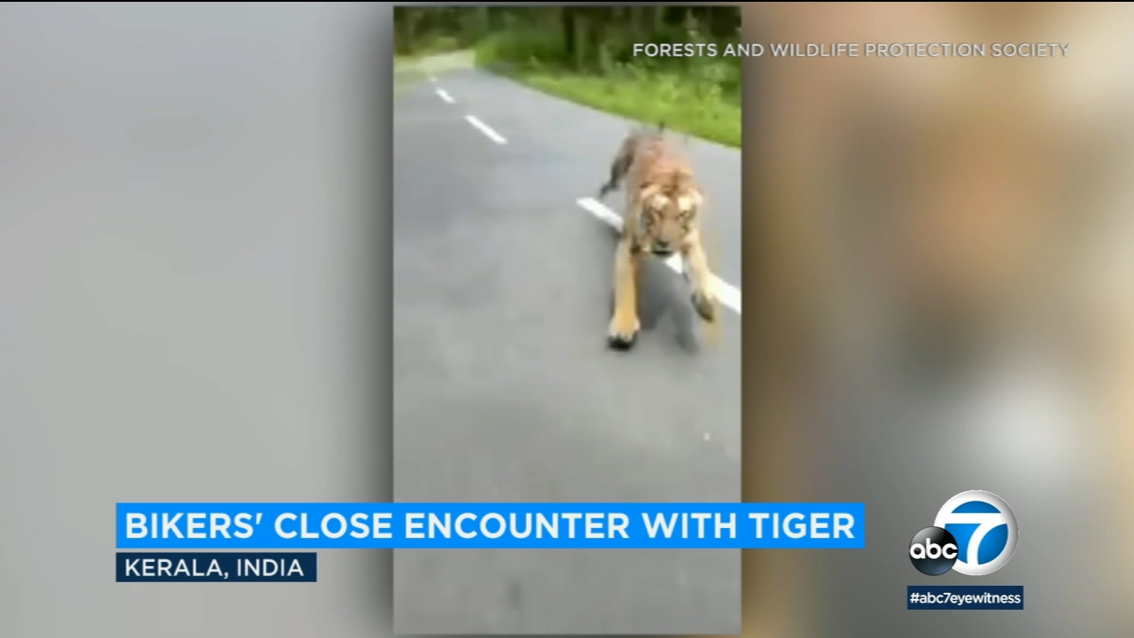 VIDEO: Forest Department officials on a motorcycle flee a tiger