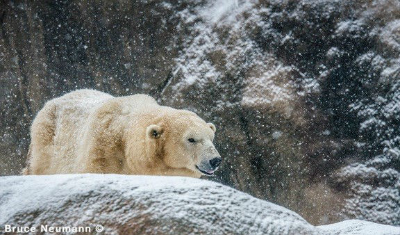 "<div class=""meta image-caption""><div class=""origin-logo origin-image none""><span>none</span></div><span class=""caption-text"">Klondike and Coldilocks play in the snow at the Philadelphia Zoo.</span></div>"