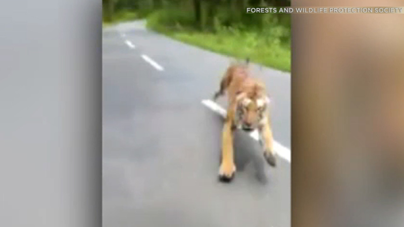 VIDEO: Motorcyclists flee a chasing tiger