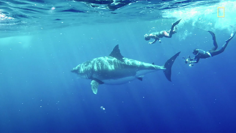 Deep Blue, one of the biggest great white sharks ever filmed